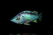 UNDERWATER MARINE LIFE EAST PACIFIC: Northeast FISH: Rockfish Sebastes species