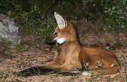 Maned Wolf<br /> Chrysocyon brachyurus<br /> Range: c & ne Brazil, Lowlands of Bolivia, Paraguay & Argentina