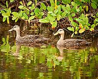 Pair of Mottled Ducks. Black Point Wildlife Drive, Merritt Island National Wildlife Refuge. Image taken with a Nikon Df camera and 300 mm f/4 lens (ISO 2000, 300 mm, f/4, 1/1250 sec).