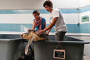A green turtle ready to be released after being treated at the recovery center of CESTMed, Center for Research and Conservation of Mediterranean Sea Turtles, Le Grau du Roi, France.