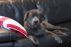 Chow dog sitting on a couch at home