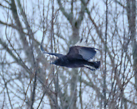 Black Vulture (Coragyps atratus). Image taken with a Fuji X-H1 camera and 100-400 mm OIS lens.