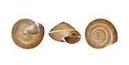 Girdled Snail - Hygromia cinctella