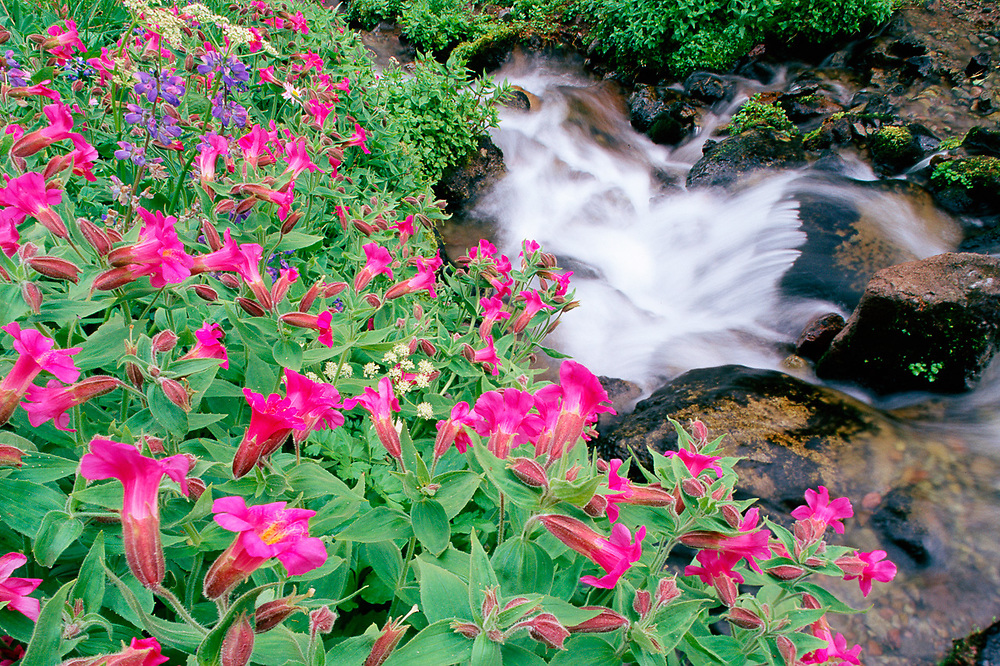 Pink monkeyflowers and Sunbeam Creek, summer, Mount Rainier National Park, Washington, USA
