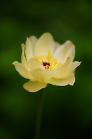 A lovely lone Globe Flower.