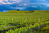 Vineyards, Millar Road Winery, Tuki Tuki Hills, near Napier, Hawkes Bay, North Island, New Zealand