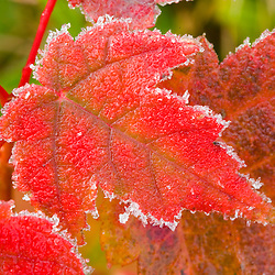 Frost crystals outlines maple leaves at the Benjamin Farm in Scarborough, Maine.