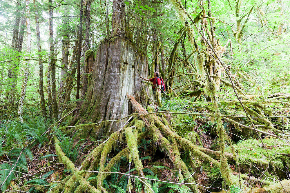 Parmenter Welty stands at the base of a giant tree stump, a vestige of old growth logging in the Bacon Creek drainage, Mount Baker-Snoqualmie National Forest, Washington.
