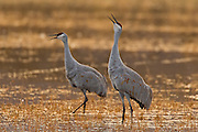 Two sandhill cranes (Grus canadensis) call out to other cranes from a marsh in the Bosque del Apache National Wildlife Refuge in New Mexico.