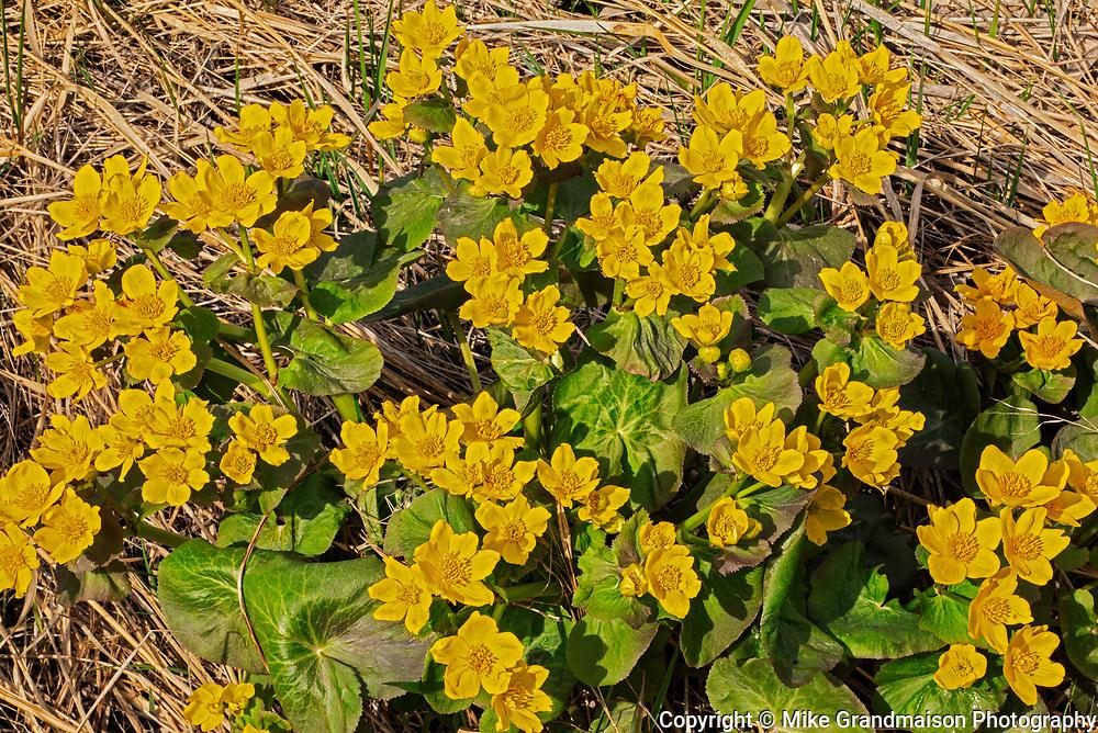 Marsh marigolds (Caltha palustris) <br />Matlock<br />Manitoba<br />Canada