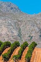 Vineyards at harvest time, Kleine Zalze Wines, Stellenbosch, Cape Winelands, South Africa. , Stellenbosch, Cape Winelands, South Africa.
