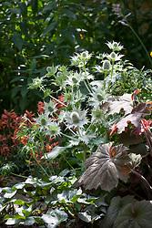 Eryngium giganteum 'Silver Ghost' and heuchera