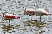 Greater flamingos (Phoenicopterus roseus) standing in a lake in the Arusha National Park. Arusha, Tanzania.