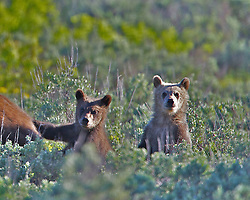 Grizzly #399 and cubs, Grand Teton National Park, Jackson Hole, Wyoming<br /> <br /> Contact for custom print options or inquiries about stock usage  - dh@theholepicture.com