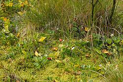 Slangenwortel, Calla palustris