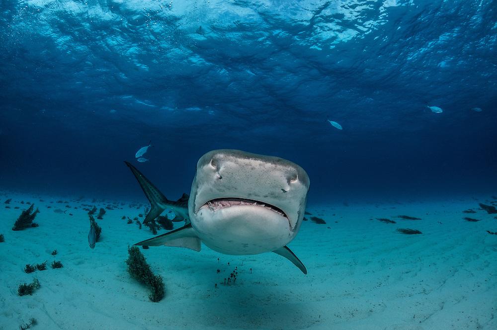 Tiger Shark off Grand Bahama Island