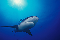 A silvertip shark, Carcharhinus albimarginatus, up close & personal.  Burma Banks, Andaman Sea, Indian Ocean