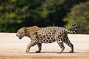 A wild jaguar (Panthera onca) walking on a river sand bank, Pantanal, Brasil, South America
