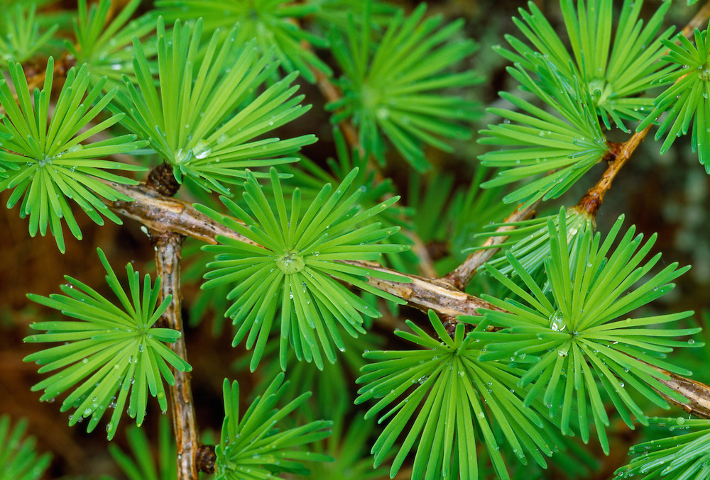 Common Larch Larix decidua Pinaceae Height to 35m<br /> Deciduous, conical conifer. Foliage turns golden before needles fall in autumn. Bark Greyish-brown, fissured with age. Branches Mostly horizontal. Needles To 3cm long, in bunches of up to 40. Reproductive parts Male flowers are yellow cones. Female cones are red in spring, maturing brown and woody. Status Native of central Europe, planted here for timber and ornament.