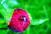 Dew on a flower bud by Ben Phillips