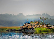 """Great Blue Heron sits upon a rock in morning fog. Size suitable for framing or canvas prints up to 8 1/2 x 11"""" or any website. Size suitable for framing or canvas prints up to 13 x 16"""" or any website."""
