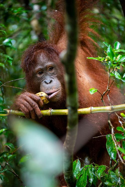 Central Kalimantan, Indonesia - March 5, 2017: Orangutan eating banana at Tanjung Puting National Park in Kalimantan, Indonesia