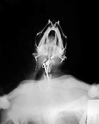 x-ray of a dead loggerhead turtle, Caretta caretta, revealing a fishing hook, snap and monofilament line as the cause of death, endangered species