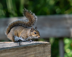 Squirrel sitting on the boardwalk railing hoping for a handout, Blue Springs State Park, Florida. Image taken by Joy Aldridge with a NIKON Z 6_2 and NIKKOR Z 70-200mm f/2.8 VR S Z TC-2.0x at 260mm, ISO 500, f5.6, 1/500.