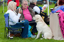 © Licensed to London News Pictures. 20/08/2017. Llanelwedd, Powys, UK. A Labrador Retriever is seen at the judging ring on the last day of The Welsh Kennel Club Dog Show, held at the Royal Welsh Showground, Llanelwedd in Powys, Wales, UK. Photo credit: Graham M. Lawrence/LNP