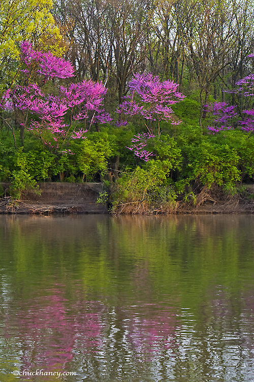 Looking across the Maumee River at Preston Island with redbud trees in full spring bloom near Defiance Ohio