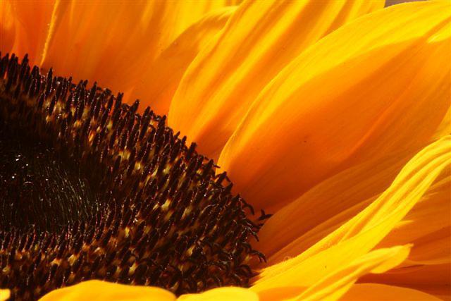 Close up of sunflower.<br /> Close-up van zonnebloem.<br /> <br /> © Meindert van Dijk<br /> Hires available!
