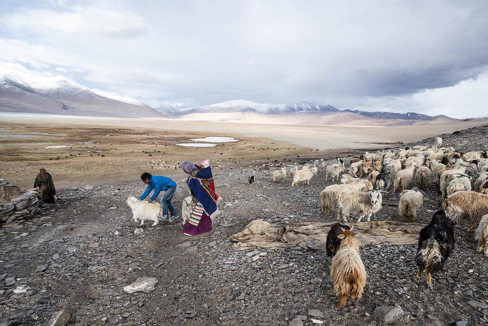 Tibetan nomads gather their herds for feeding in the evening near the shores of Tso Kar lake, Ladakh
