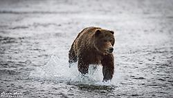 Crimp Ear chasing salmon