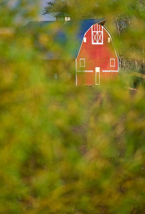 Barn, Wheatfield, Palouse Hills, near Colton Washington, USA