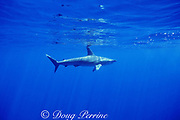 smooth hammerhead shark, Sphyrna zygaena, Azores, Portugal ( North Atlantic Ocean )