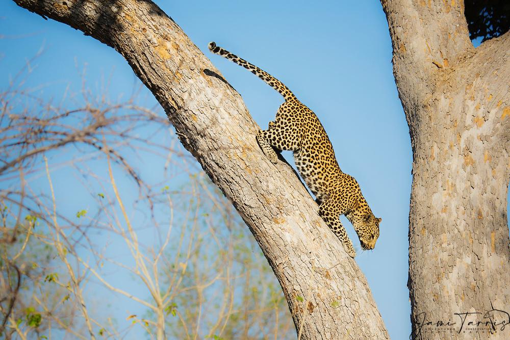 A leopard (Panthera pardus) climbing down a tree, Chobe National Park,Botswana, Africa