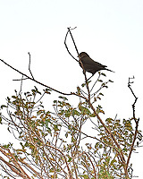 Brewer's Blackbird (Euphagus cyanocephalus). Las Vegas National Wildlife Refuge.  New Mexico. Image taken with a Nikon D4 camera and 70-200 mm f/2.8 VR lens.
