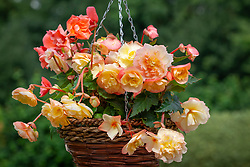 Begonia 'Fragrant Fountains'