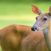 Portrait of white tailed doe. Image placed as semifinalist in 2015 Share the View international nature photography competition by Audubon Society of Greater Denver.