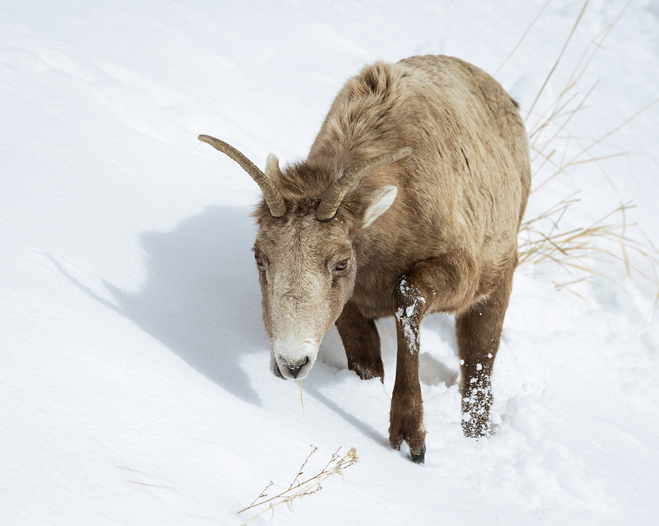 Ovis canadensis, female or ewe,Yellowstone National Park, February 2021