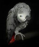 African Gray Parrot, (Psittacus erithacus); captive, credit: Pandemonium Aviaries/M.D.Kern