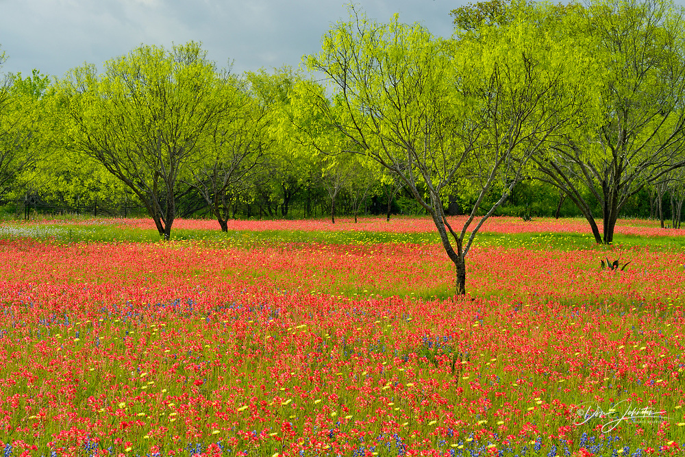 Texas wildflowers in bloom on the grounds of a country residence, Seguin, Texas, USA