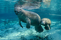 Florida manatee, Trichechus manatus latirostris, a subspecies of the West Indian manatee, endangered. Horizontal orientation. Manatee mother and young curious calf bask in warming sunlight at Pretty Sister Spring. Mangrove snapper, Lutjanus griseus, also swim in the warm blue freshwater of Three Sisters Springs, Crystal River National Wildlife Refuge, Kings Bay, Crystal River, Citrus County, Florida USA.