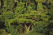 Juerana Tree<br />in Atlantic Rain Forest<br />Itubera, Bahia State, ne BRAZIL  South America