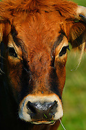 Limia cow, Tauros/Aurochs breeding site run by The Taurus Foundation, Keent Nature Reserve, The Netherlands