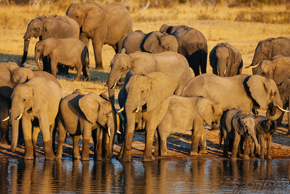 A herd of African elephants (Loxodonta africana)walking down to drink at a water hole at sunset, Hwange National Park, Zimbabwe,Africa
