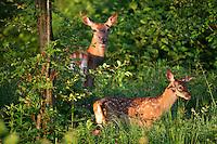 Red Deer (Cervus elaphus), Bieszczady National Park, Poland