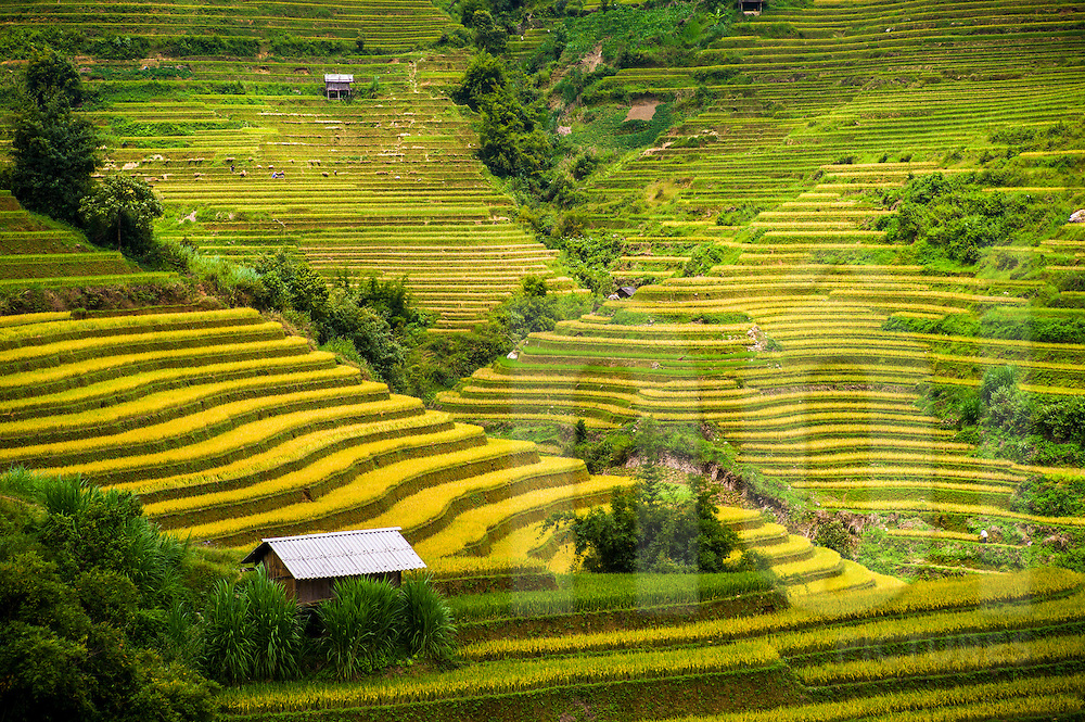 Paddy fields in La Pan Tan valley on the road (QL 32) between Nghia Lo and Mu Cang Chai, Vietnam, Southeast Asia