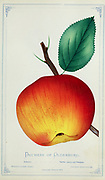 'Duchess of Oldenburg' is an old Russian cultivar (1750 - 1799) of cultivated apple which has attractive streaks of yellow and red. It was commonly but not universally known in America simply as 'Oldenburg' from Dewey's Pocket Series ' The nurseryman's pocket specimen book : colored from nature : fruits, flowers, ornamental trees, shrubs, roses, &c by Dewey, D. M. (Dellon Marcus), 1819-1889, publisher; Mason, S.F Published in Rochester, NY by D.M. Dewey in 1872