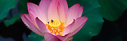Close Up of Lotus Blossom with bee